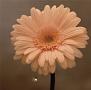 花は咲く(通常盤)