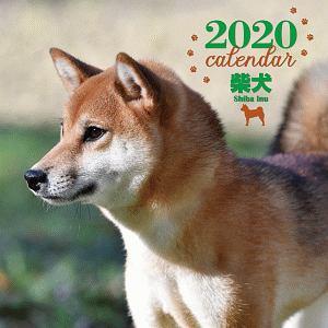 大判カレンダー 柴犬 2020