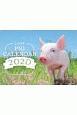 Lucky Pig Calendar 2020